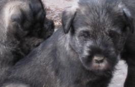junge Hunde zum Verkauf