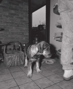 Nixe von der Wieslauf  gew. Dezember 1987   - hier 4 Monate