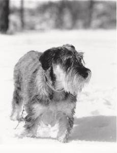 Nixe von der Wieslauf  gew. Dezember 1987   - hier 3 Jahre